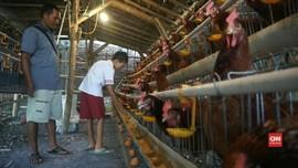 VIDEO: Pakan Mahal Disebut Jadi Penyebab Harga Telur Tinggi