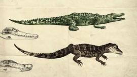 Beda Buaya dan Aligator