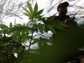 Malaysia Akan Legalkan Ganja Untuk Obat