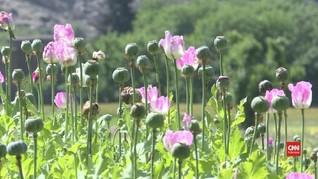 VIDEO: Perselingkuhan Petani Afghanistan dari Opium ke Mawar