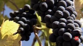 VIDEO: Terpapar Radioaktif, Anggur California Aman Dikonsumsi