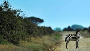 Keledai Dicat Belang Mirip Zebra di Mesir Jadi Viral