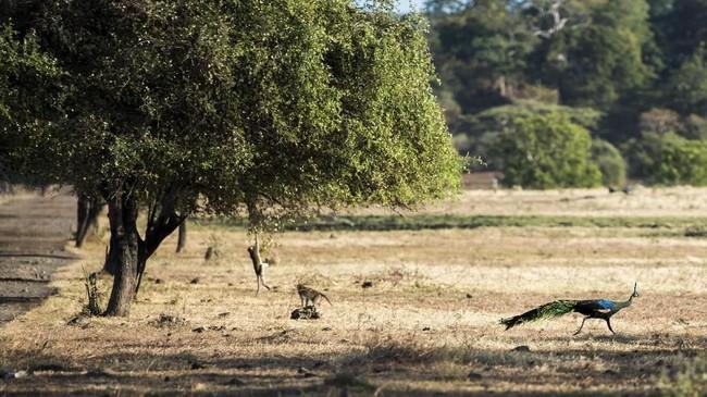 Sabana alias padang rumput luas menjadi meliputi 40 persen lahan di Taman Nasional Baluran, yang totalnya mencapai 25 ribu hektare.