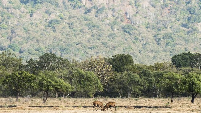 Taman Nasional Baluran paling pas dikunjungi sepanjang bulan Mei sampai Oktober. Di musim panas, fauna seperti banteng, kerbau, kijang, rusa, dan macan tutul bermunculan, terutama menjelang sore hari.