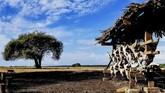 Monyet ekor panjang melintas di padang sabana Bekol.Tak salah jika Pulau Jawa dinobatkan sebagai destinasi Asia terbaik tahun ini versi majalah wisata Travel and Leisure. Pasalnya ada banyak destinasi yang semakin populer di kalangan turis, salah satunya ialah Taman Nasional Baluran.