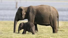 Awasi Perburuan Liar, Serdadu Inggris Tewas Diserang Gajah