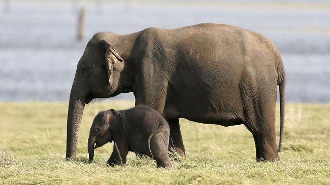 Awasi Perburuan Liar Serdadu Inggris Tewas Diserang Gajah