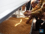 Petani Kini Bisa Mengeringkan Jagung Tanpa Harus ke Pabrik