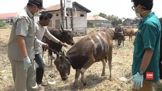 VIDEO: Pemkot Makassar Antisipasi Cacing Hati dan Antraks
