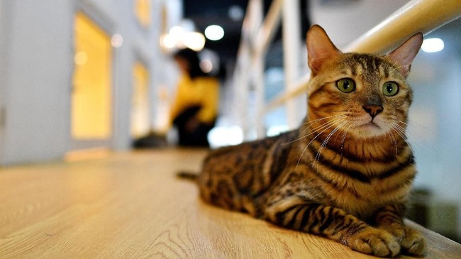 Seekor kucing bengal sedang menanti ruangannya dibersihkan oleh petugas.