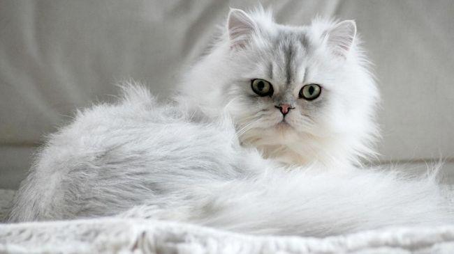 80 Gambar Gambar Kucing Ras Paling Keren