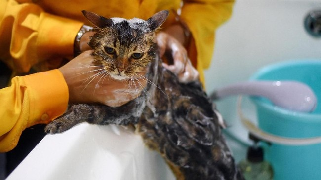 Sebelum check-out, kucing-kucing yang menginap di hotel ini akan dimandikan. Tentunya pelayanan yang paripurna ini membuat sang kucing menjadi betah.
