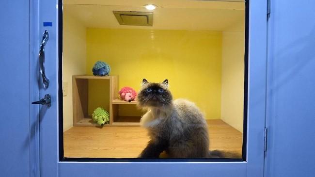 Seekor kucing jenis Burma sedang termangu di dalam kamar hotel. Tidak seperti lokasi penitipan hewan, yang hanya menyediakan kandang sempit, di tempat ini kucing ditempatkan di sebuah ruangan lengkap dengan fasilitasnya.