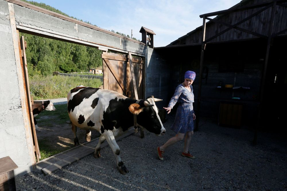 Mereka pindah ke sebuah desa di Siberia dan mulai mencoba bisnis pembuatan keju.