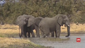 VIDEO: Pencarian Obat Kanker Manusia Lewat Jurnal Gajah