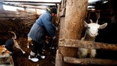 Yuri Baikov memeriksa kambing di peternakan kecilnya yang berada di dalam. (REUTERS/Vasily Fedosenko)