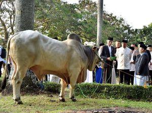 Idul Adha di Bogor, Jokowi Kurban Sapi Brahman 1,3 ton