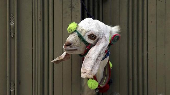 Jelang hari raya Iduladha, seekor kambing kurban mengintip dari pagar suatu rumah di Peshawar, Pakistan. (Reuters/Fayaz Aziz)