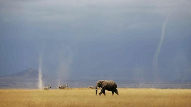Angin topan kecil terlihat ketika seeokor gajah dan zebra berjalan di taman nasional Amboseli, Kenya. (Reuters/Baz Ratner)