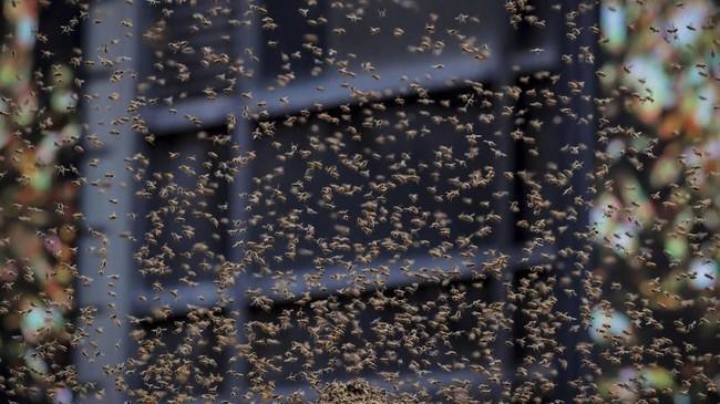 Sekawanan lebah berkumpul di atas payung sebuah gerobak hotdog di Times Square, Kota New York, Amerika Serikat, Selasa (28/8).