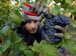 Ini Dia Anggur Pinot Noir, Cikal Bakal Wine Terbaik Prancis