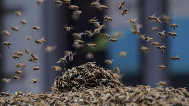 Tidak ada yang luka-luka dalam insiden tersebut. Menurut polisi, lebah-lebah itu hanya 'ingin makan hotdog'.