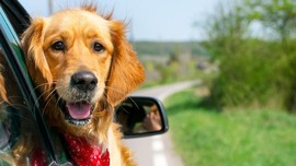 Aman Berkendara dengan Hewan Kesayangan