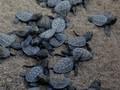 Ratusan Bayi Penyu Raksasa Dicuri dari Penangkaran Galapagos
