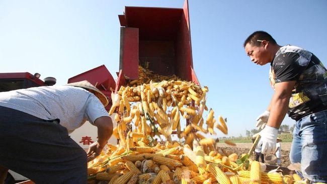 BISI Impor Jagung Diatur, BISI Bidik Produksi 45.000 Ton Tahun Ini