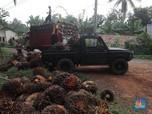 Industri CPO Lesu, Tandan Buah Segar Milik Petani Tak Laku