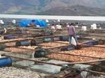 Terungkap! Penyebab Kematian Massal Ribuan Ikan di Danau Toba