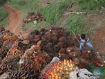 Thank You, India! Harga Minyak Sawit Naik 1% Lebih Nih