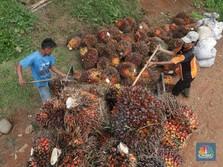RI Bebaskan Pungutan Ekspor, Harga CPO Turun Pekan Ini