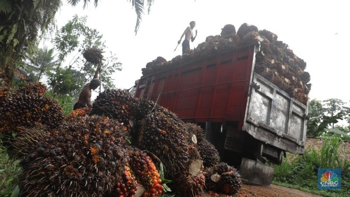 Panen tandan buah segar kelapa sawit di kebun Cimulang, Candali, Bogor, Jawa Barat. Kamis (13/9). Kebun Kelapa Sawit di Kawasan ini memiliki luas 1013 hektare dari Puluhan Blok perkebunan. Setiap harinya dari pagi hingga siang para pekerja panen tandan dari satu blok perkebunan. Siang hari Puluhan ton kelapa sawit ini diangkut dipabrik dikawasan Cimulang. Menurut data Kementeria Pertanian, secara nasional terdapat 14,03 juta hektare lahan sawit di Indonesia, dengan luasan sawit rakyat 5,61 juta hektare. Minyak kelapa sawit (CPO) masih menjadi komoditas ekspor terbesar Indonesia dengan volume ekspor 2017 sebesar 33,52 juta ton.