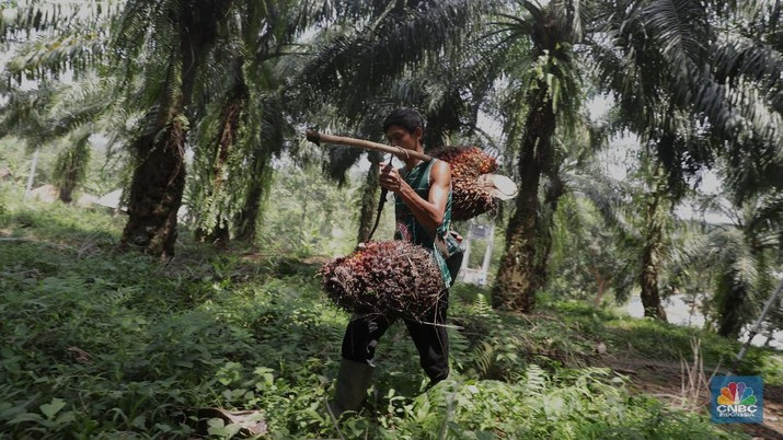 Panen tandan buah segar kelapa sawit di kebun Cimulang, Candali, Bogor, Jawa Barat. Kamis (13/9). Kebun Kelapa Sawit di Kawasan ini memiliki luas 1013 hektare dari Puluhan Blok perkebunan. Setiap harinya dari pagi hingga siang para pekerja panen tandan dari satu blok perkebunan. Siang hari Puluhan ton kelapa sawit ini diangkut dipabrik dikawasan Cimulang. Menurut data Kementeria Pertanian, secara nasional terdapat 14,03 juta hektare lahan sawit di Indonesia, dengan luasan sawit rakyat 5,61 juta hektare. Minyak kelapa sawit (CPO) masih menjadi komoditas ekspor terbesar Indonesia dengan volume ekspor 2017 sebesar 33,52 juta ton. (CNBC Indonesia/Muhammad Sabki)