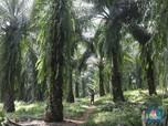 Pungutan Ekspor CPO Dinolkan, Petani Masih Resah