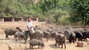 Perang Dagang, China Kurangi Ransum Kedelai untuk Babi