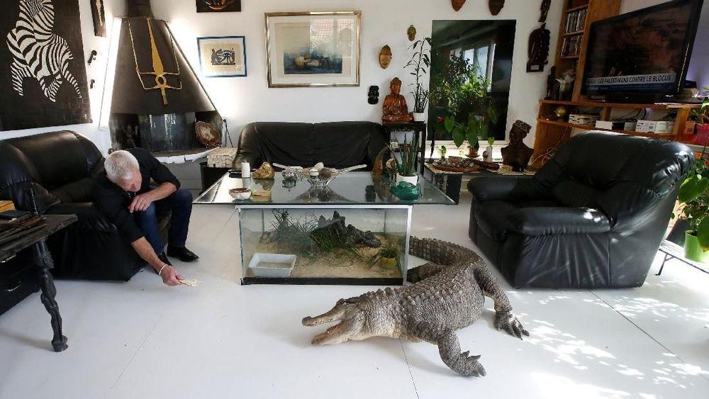 Philippe Gillet, pria Prancis berusia 67 tahun yang tinggal dengan lebih dari 400 reptil dan alligator yang jinak,bermain dengan aligator di ruang tamunya di Coueron dekat Nantes, Prancis. Reuters/Stephane Mahe