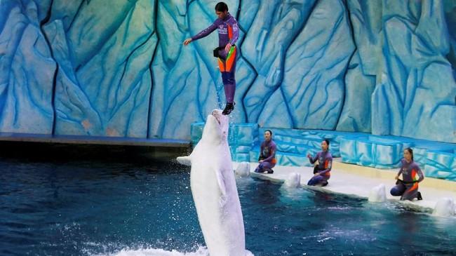 Pendiri Dolphin Project, Rick O'Barry, mengatakan beberapa negara sudah mulai menutup sirkus lumba-lumba. Namun yang terjadi di China justru sebaliknya.