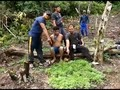 VIDEO: Polisi Temukan Satu Hektare Ladang Ganja di Sumut
