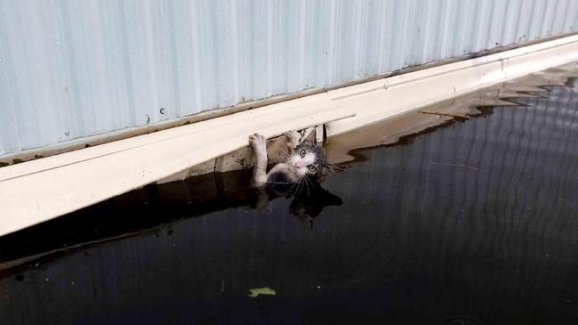 Seekor kucing sempat bergelantung di sisi sebuah truk besar ketika terjadinya banjir sehingga air sungai Cape Fear, Carolina Utara, Amerika Serikat, meluap. Banjir itu terjadi setelah Carolina Utara dilanda Badai Florence. (Reuters/Jonathan Drake)