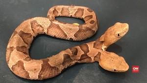 VIDEO: Ular Copperhead Kepala Dua ditemukan di Virginia