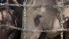 FOTO: Perseteruan Gajah di Dak Lak