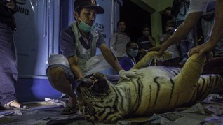 Harimau Sumatera Hamil Tewas Terkena Jerat Kawat di Riau