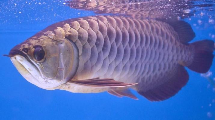 Wow, Ikan Peliharaan Orang Kaya Asia Nilainya Capai Rp 4,4 M
