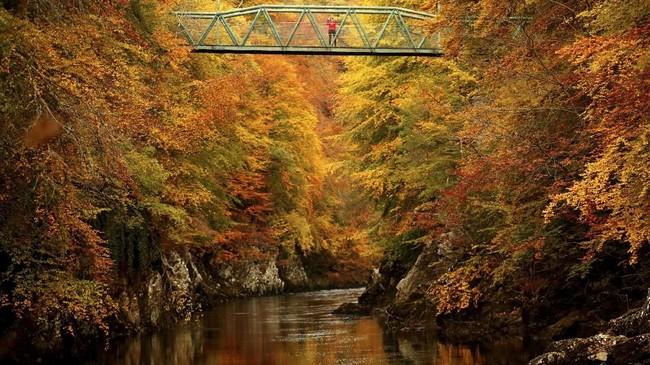 Pepohonan di sepanjang Sungai Garry, Pitlochry, Skotlandia, berubah warna menjadi oranye kekuningan di musim gugur. (REUTERS/Russell Cheyne)