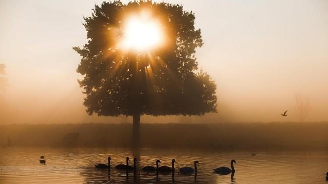 Angsa berenang di pagi hari yang berkabut di taman Bushy di London, Inggris. (Reuters/Henry Nicholls)