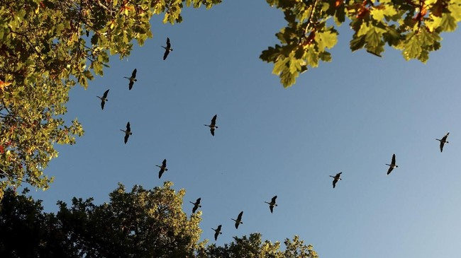 Menjelang sore hari, musim gugur di Skotlandia bakal menyuguhkan pemandangan langit membiru dan dihiasi yang burung yang berterbangan. (REUTERS/Russell Cheyne)