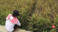 VIDEO: Diserang Wereng, Sawah di Kerawang Gagal Panen