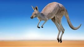 Serangan Kangguru Hampir Tewaskan Wanita di Australia